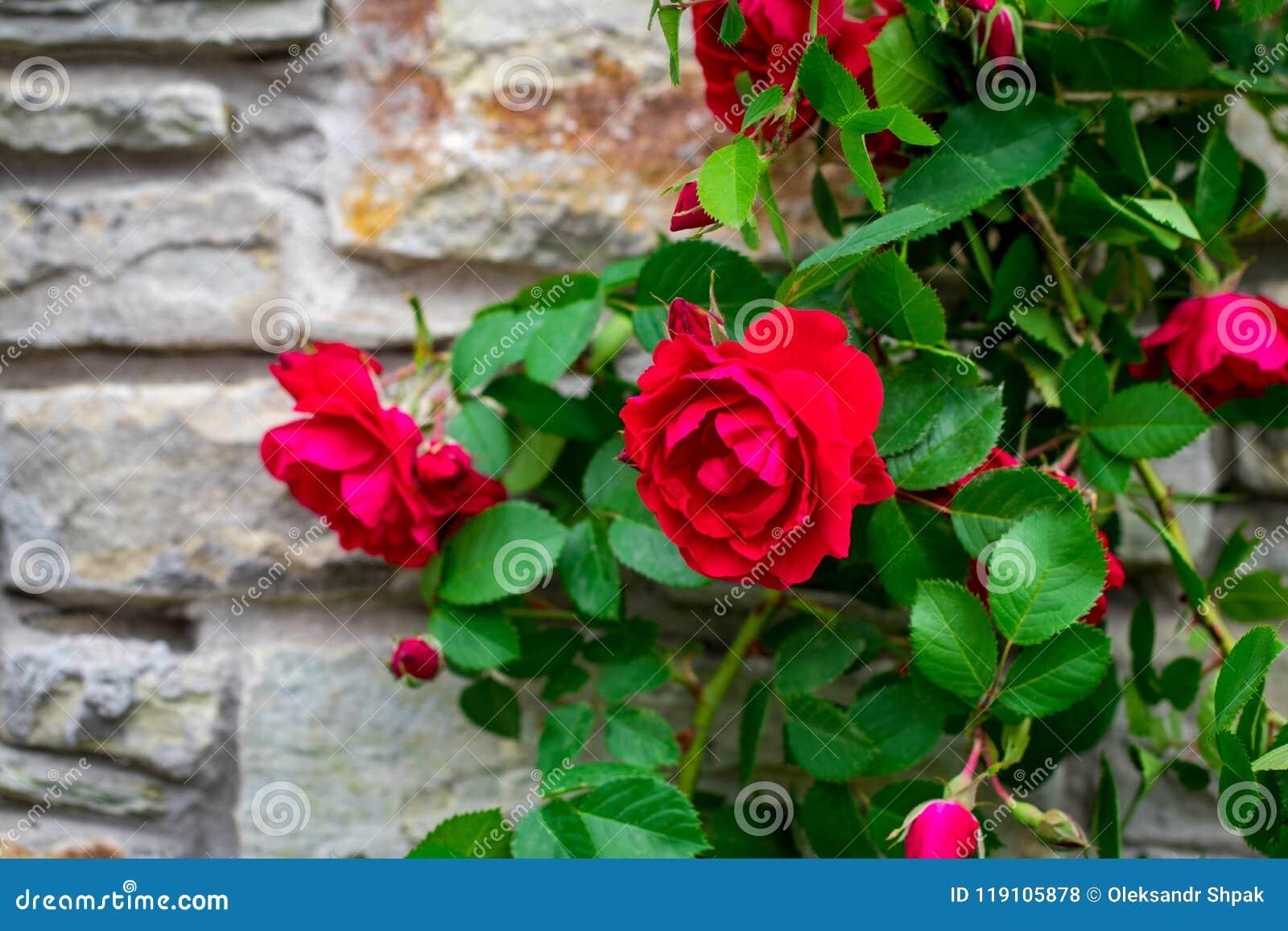 För stenvägg för härlig rosa buske gammal bakgrund med kopieringsutrymme