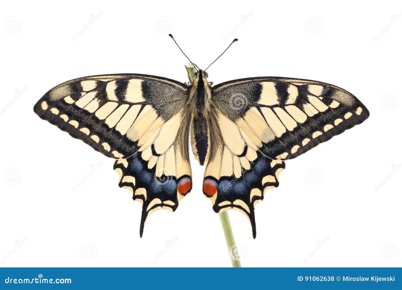 För Swallowtail Papilio för den gamla världen fjärilen machaon sätta sig på all en fatta på en vit bakgrund