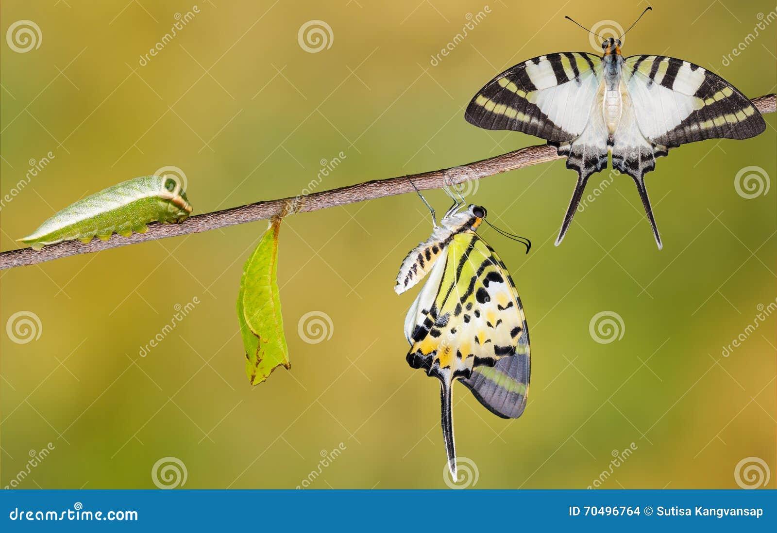 För swordtailfjäril för fem stång cirkulering för liv