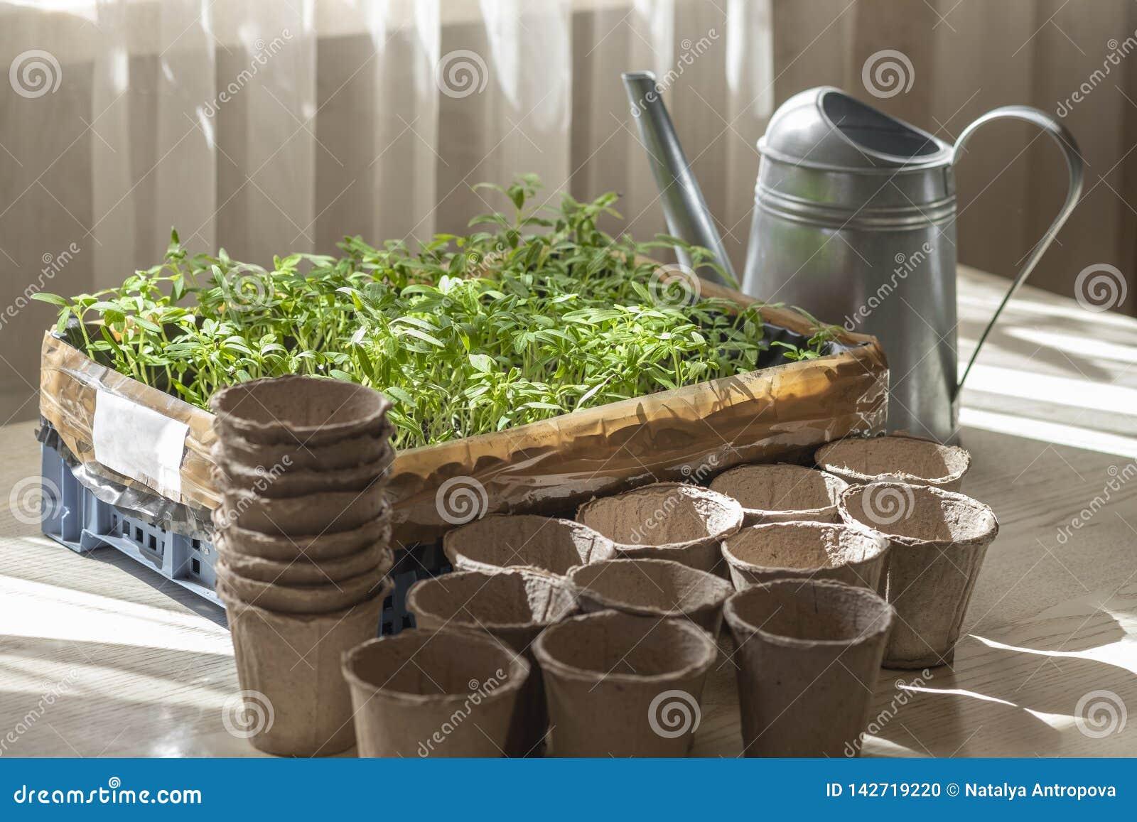 Förberedelsen för att plantera tomatplantor, en ask med plantor, en torvkopp och bevattna kan