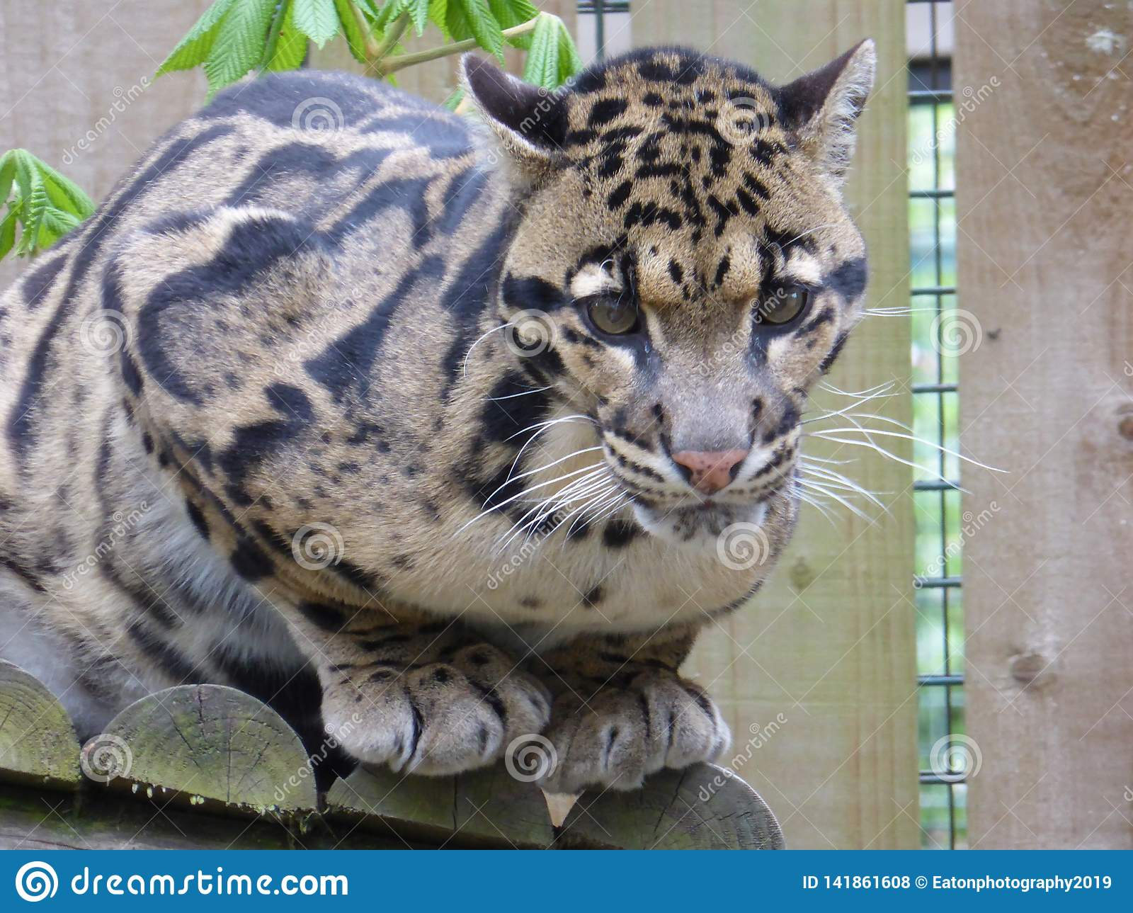 Fördunklad leopard som ser ögat för att syna