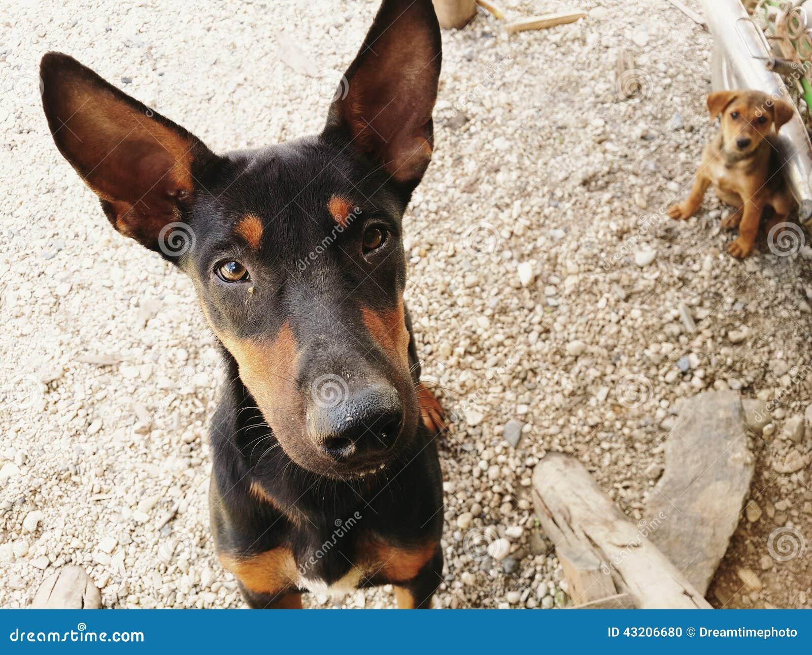 Download Förfölja arkivfoto. Bild av husdjur, angus, avkommor - 43206680