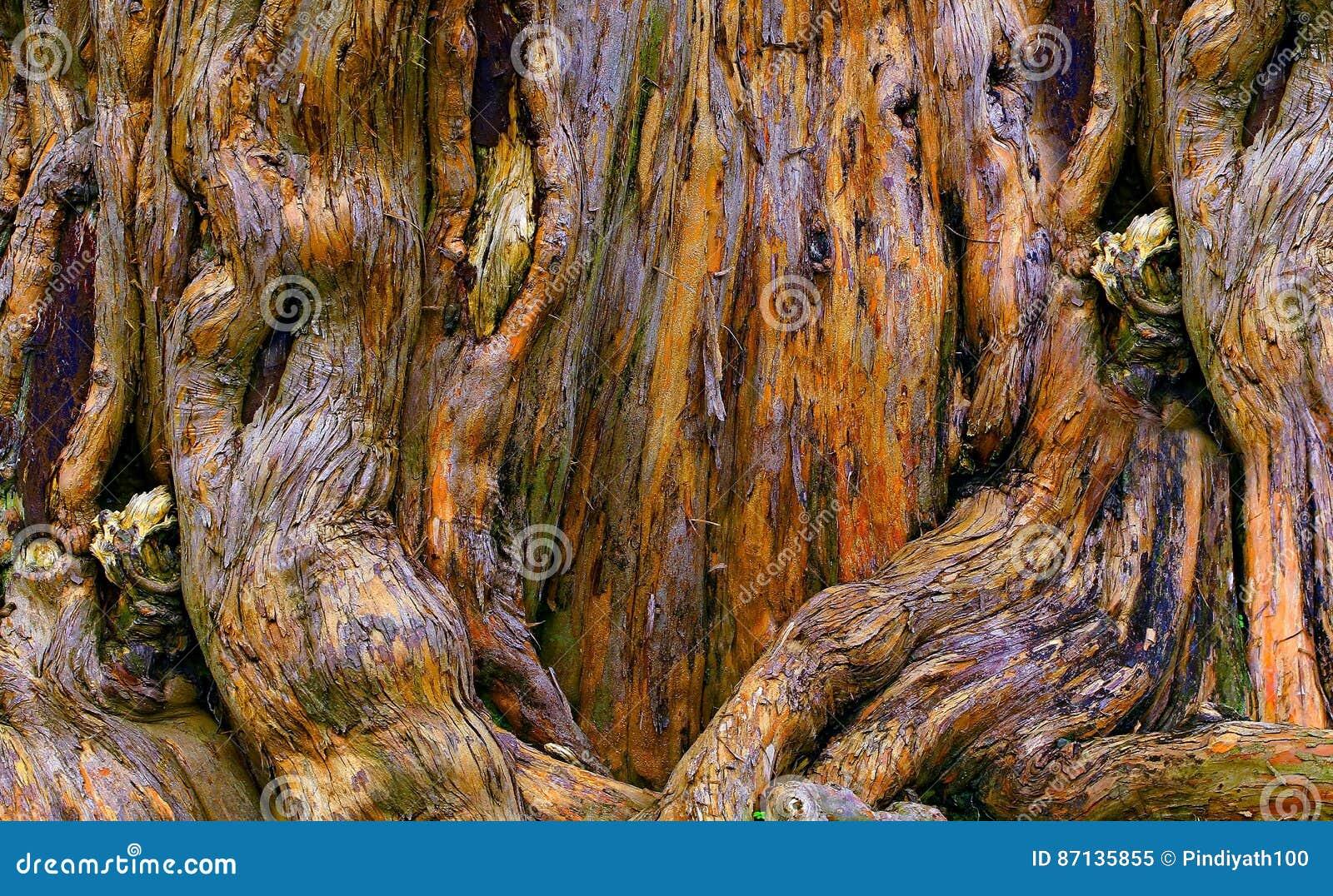 Förfalla banyanträdet rotar