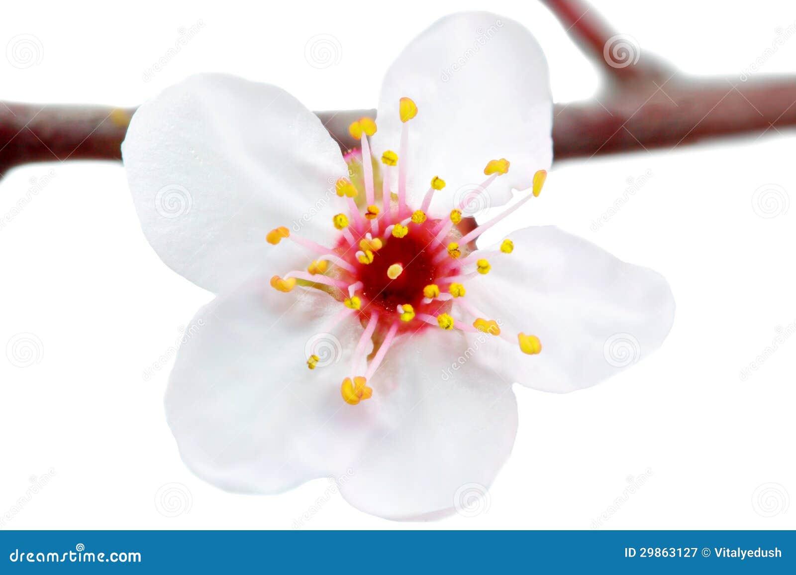 Förgrena sig med blomningar. Isolerat på vitbakgrund.