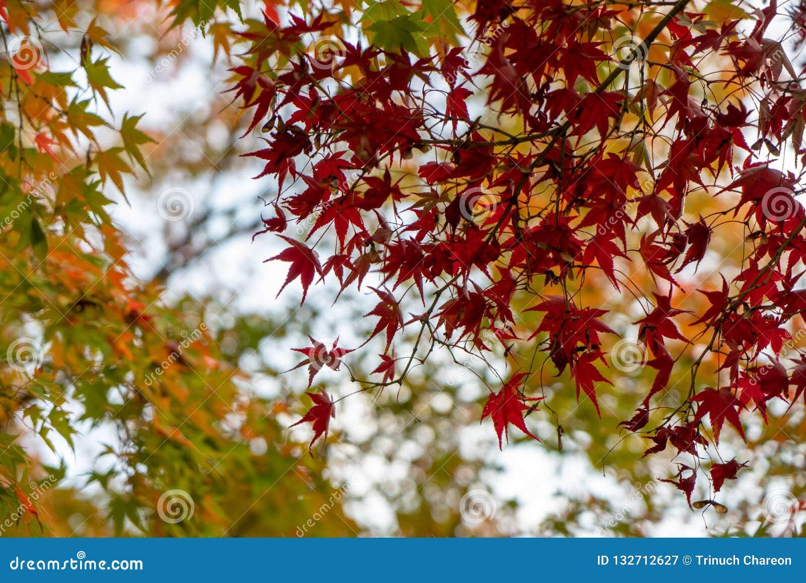 Förgrund för lönnlöv för härlig november höst röd med gul och grön suddig bokehbakgrund, Kyoto