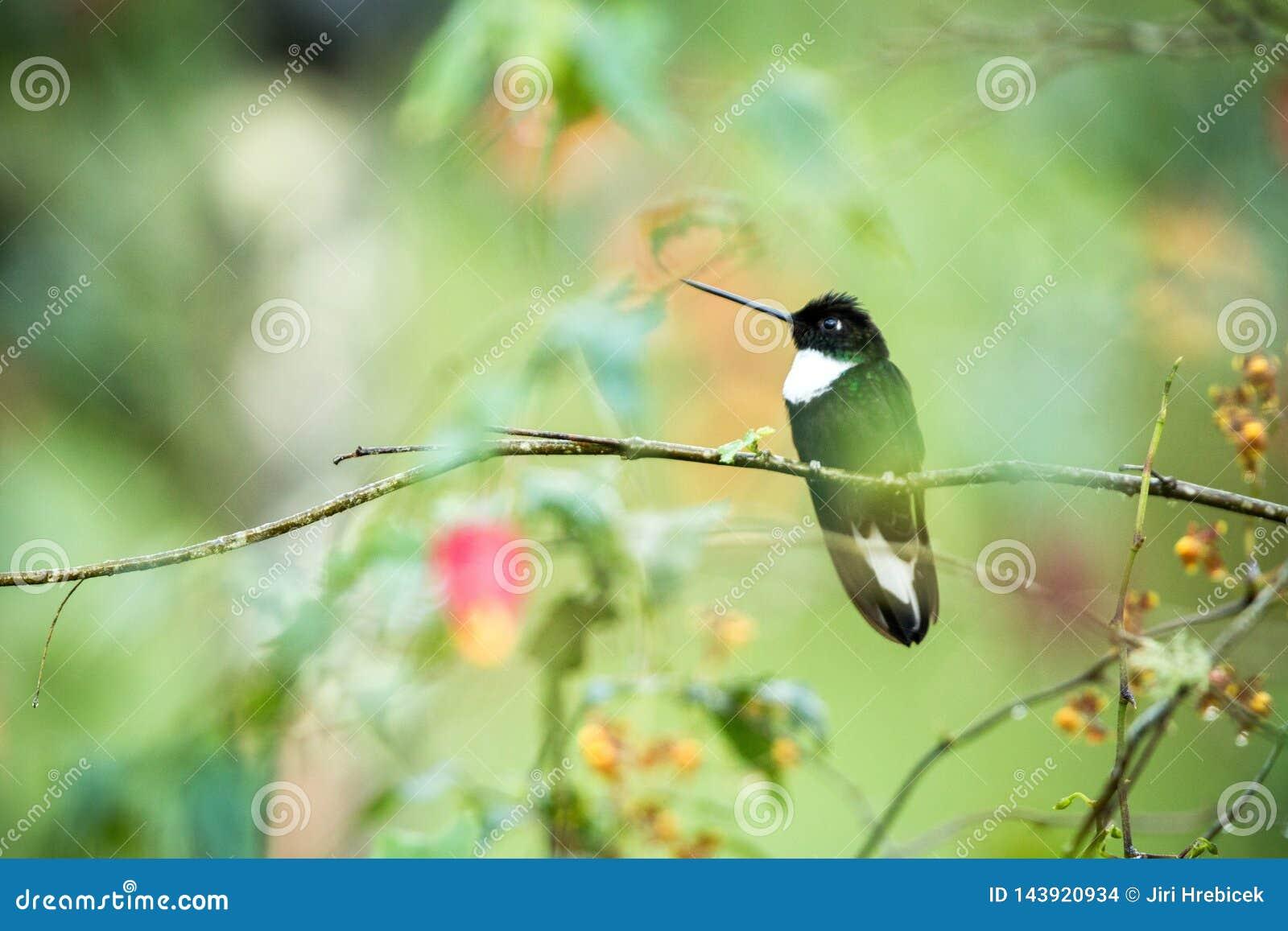Försedd med krage inca som sitter på filialen, kolibri från berg, Colombia, Nevade del Ruiz, fågel som sätta sig, mycket liten hä