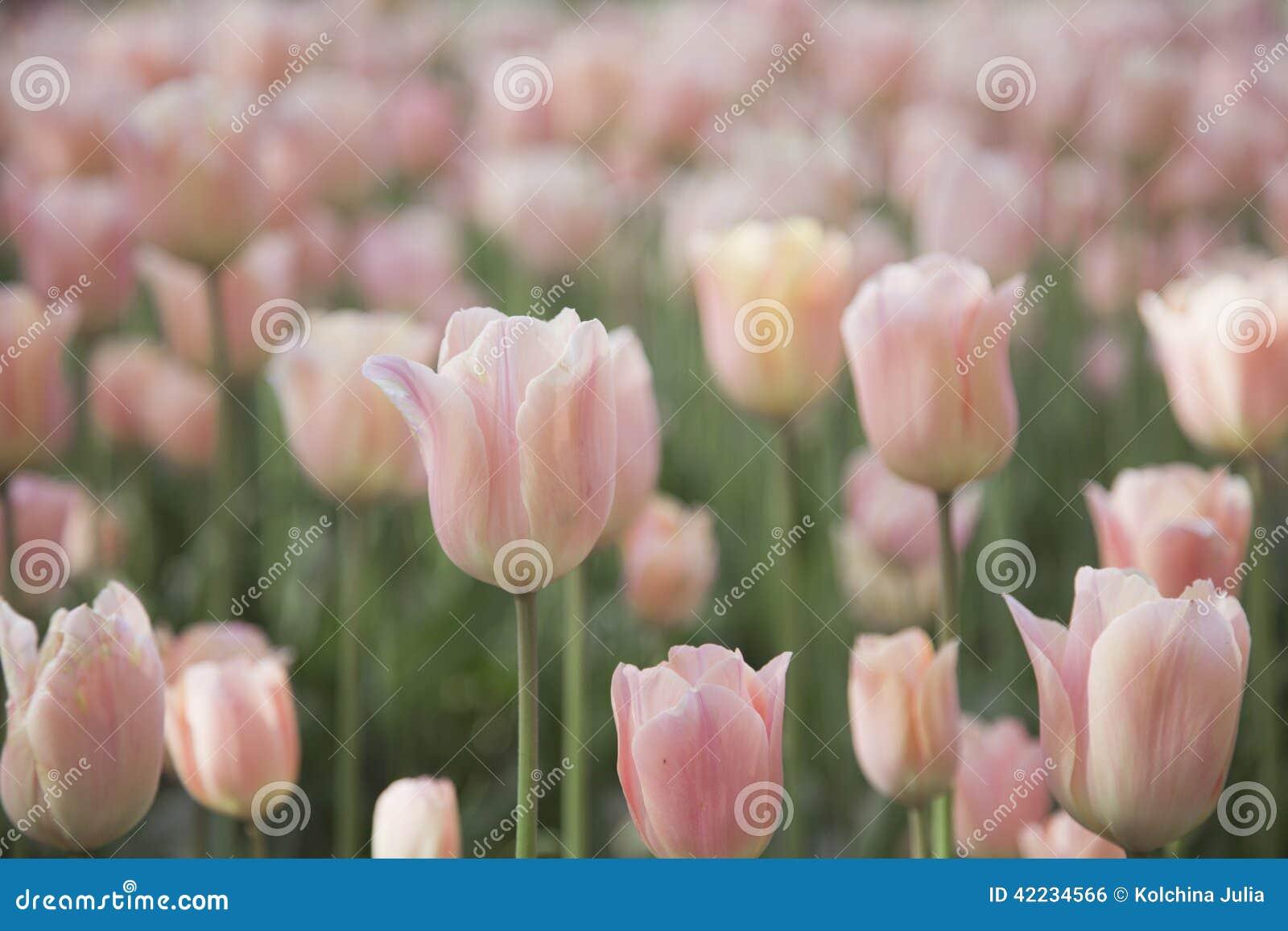 Försiktiga rosa tulpan