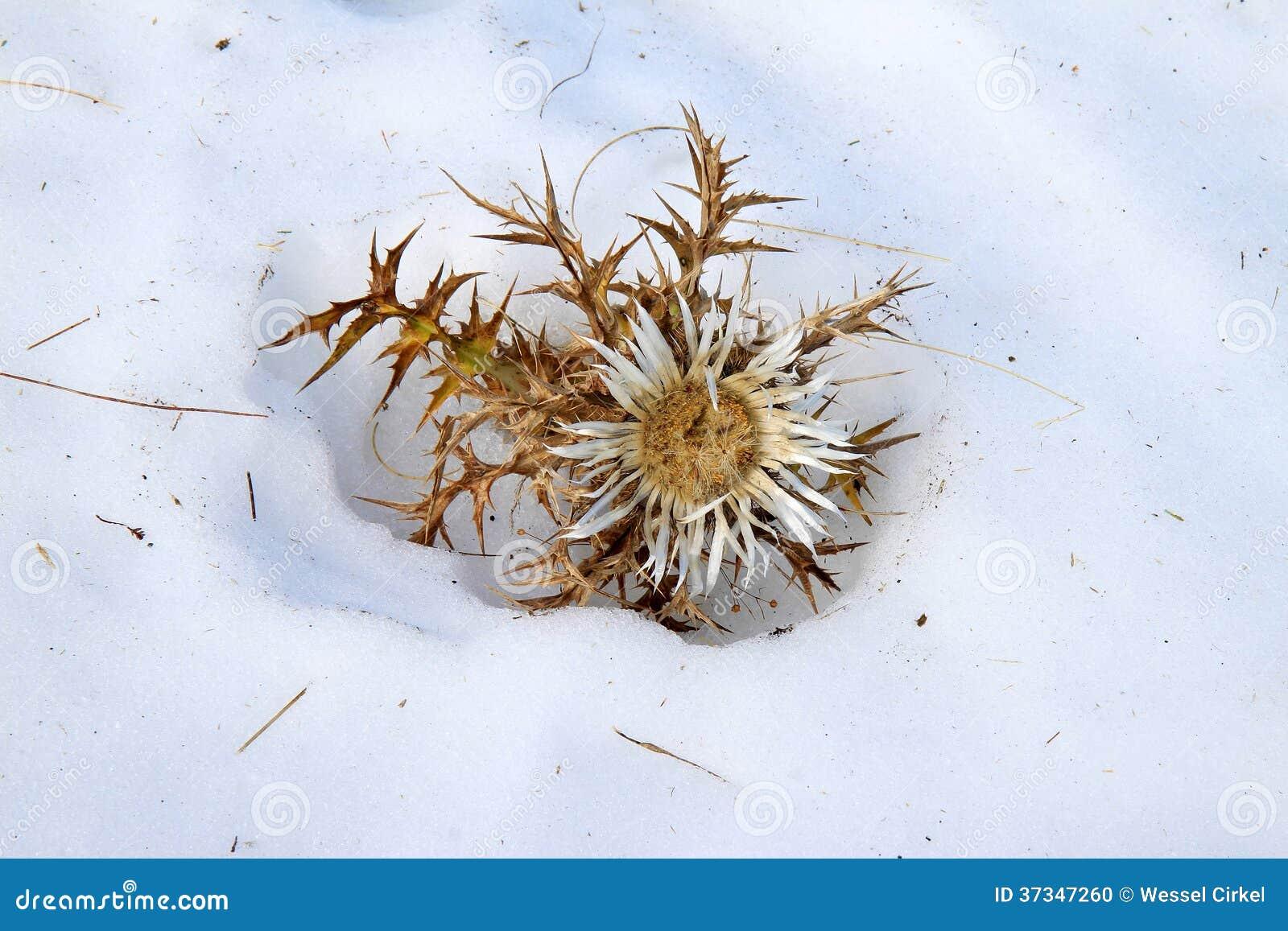 Försilvra tisteln i snön (höst), Italien