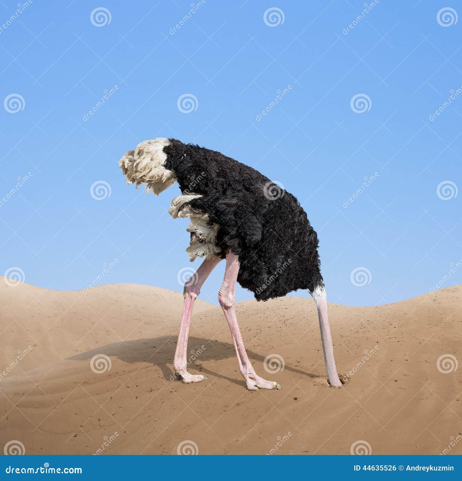 Förskräckt struts som begraver dess huvud i sand