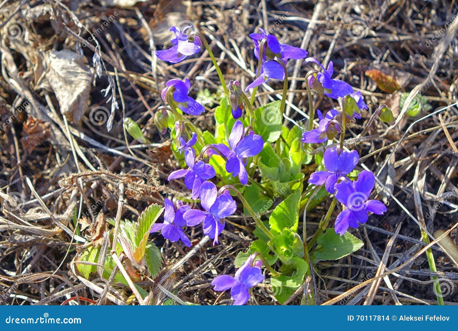 blåa vårblommor bilder