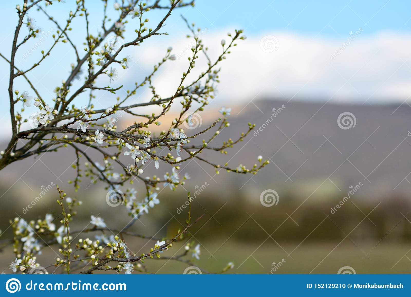 Första blomningar för äppleträd som blommar på tunna filialer under den tidiga våren som framme väcker av oskarp bakgrund