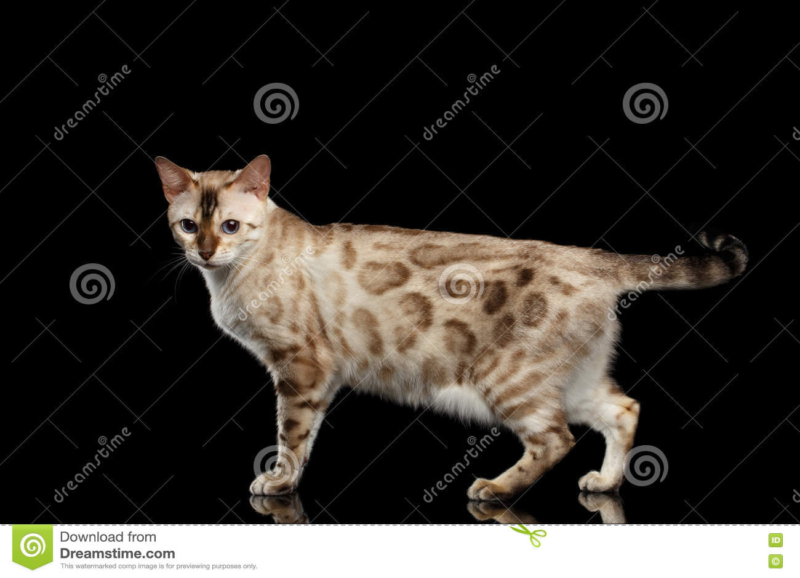 Förtjusande avelBengal katt som isoleras på svart bakgrund