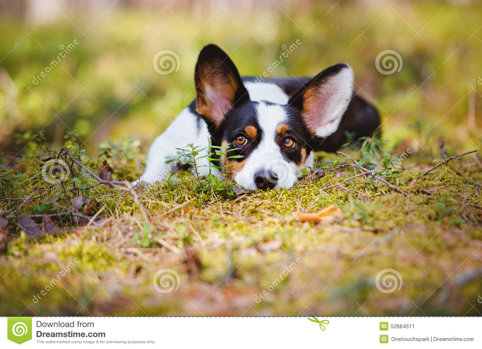 Förtjusande corgihund som ner utomhus ligger