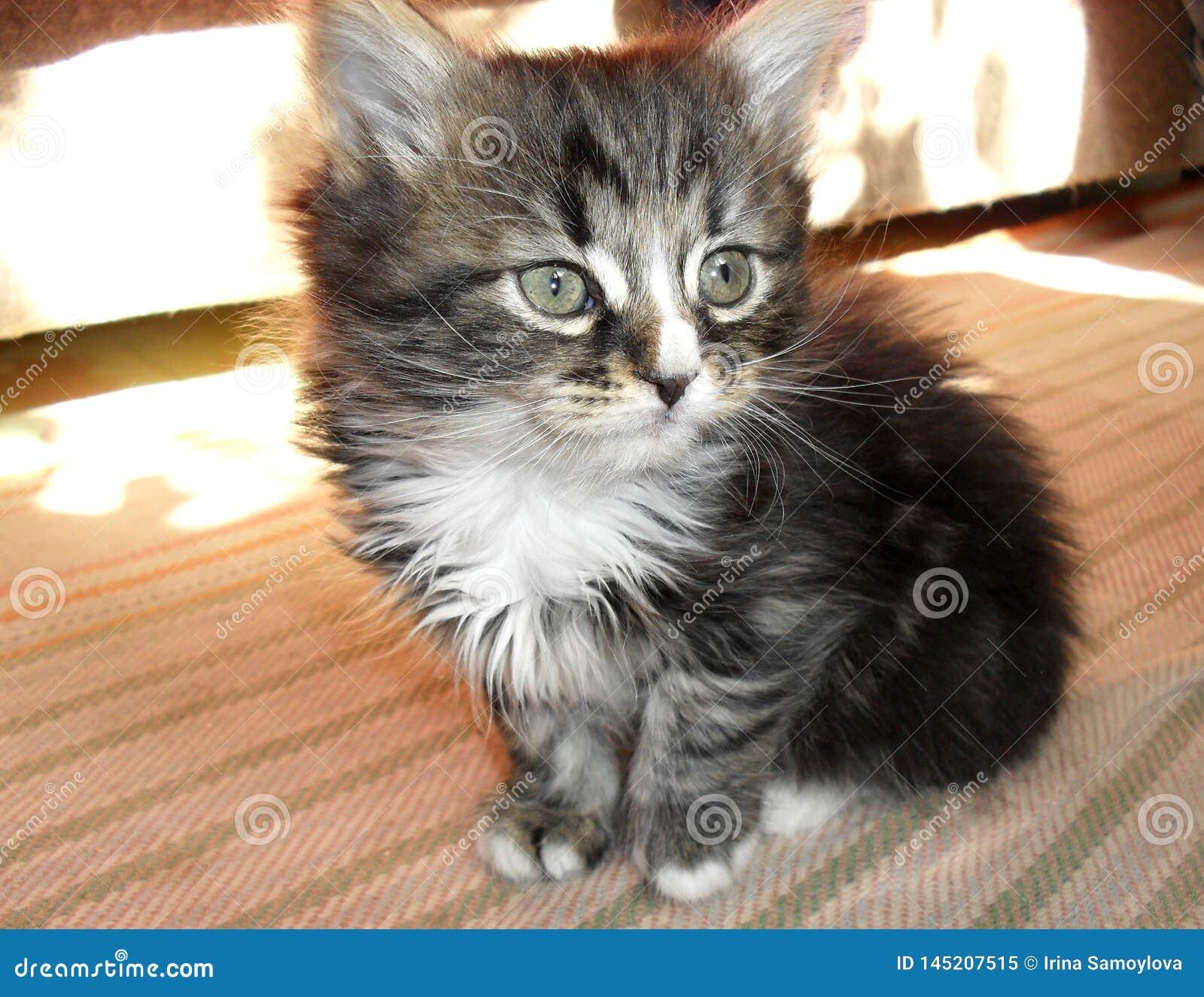 Förtjusande gullig liten randig fluffig kattunge