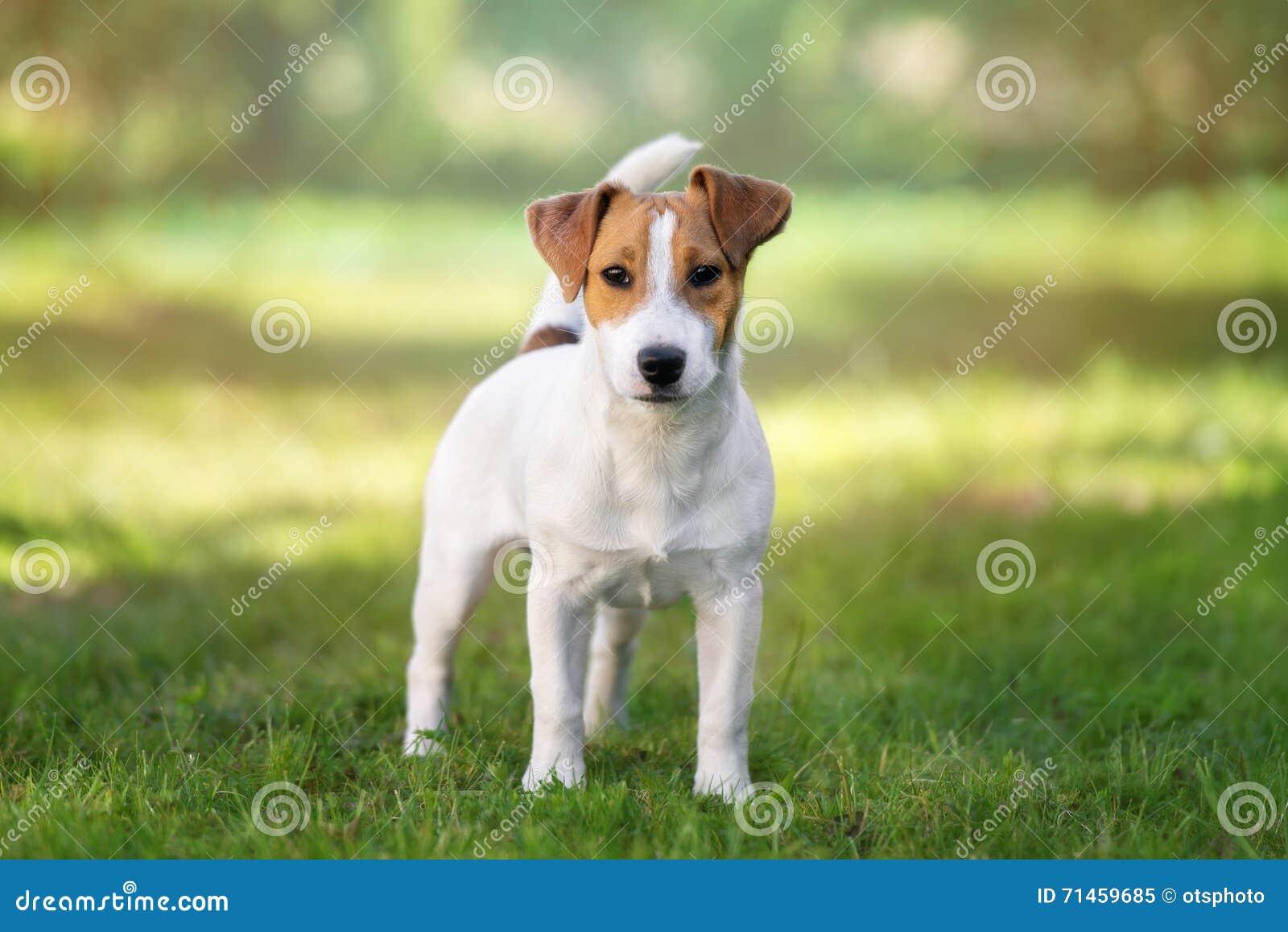 Förtjusande hund för stålarrussell terrier utomhus