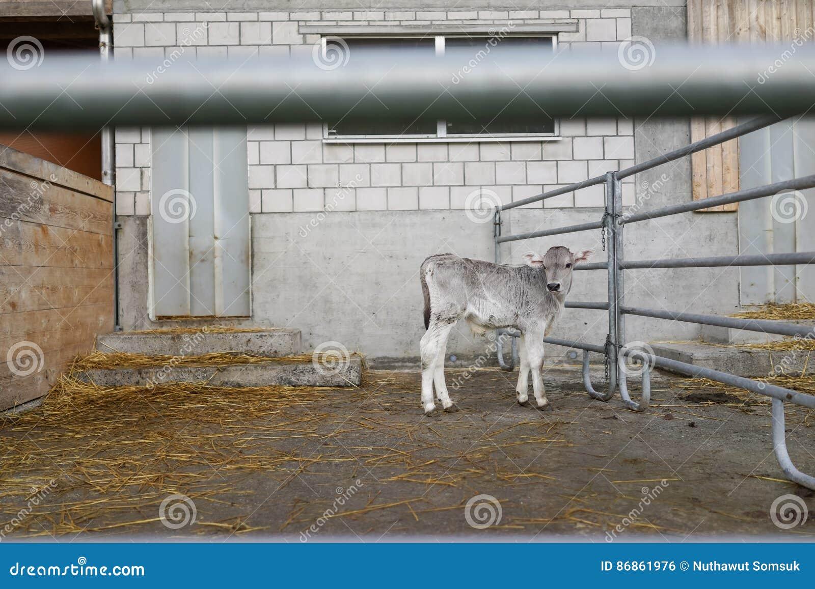Förtjusande kalv i en stor kolantgård