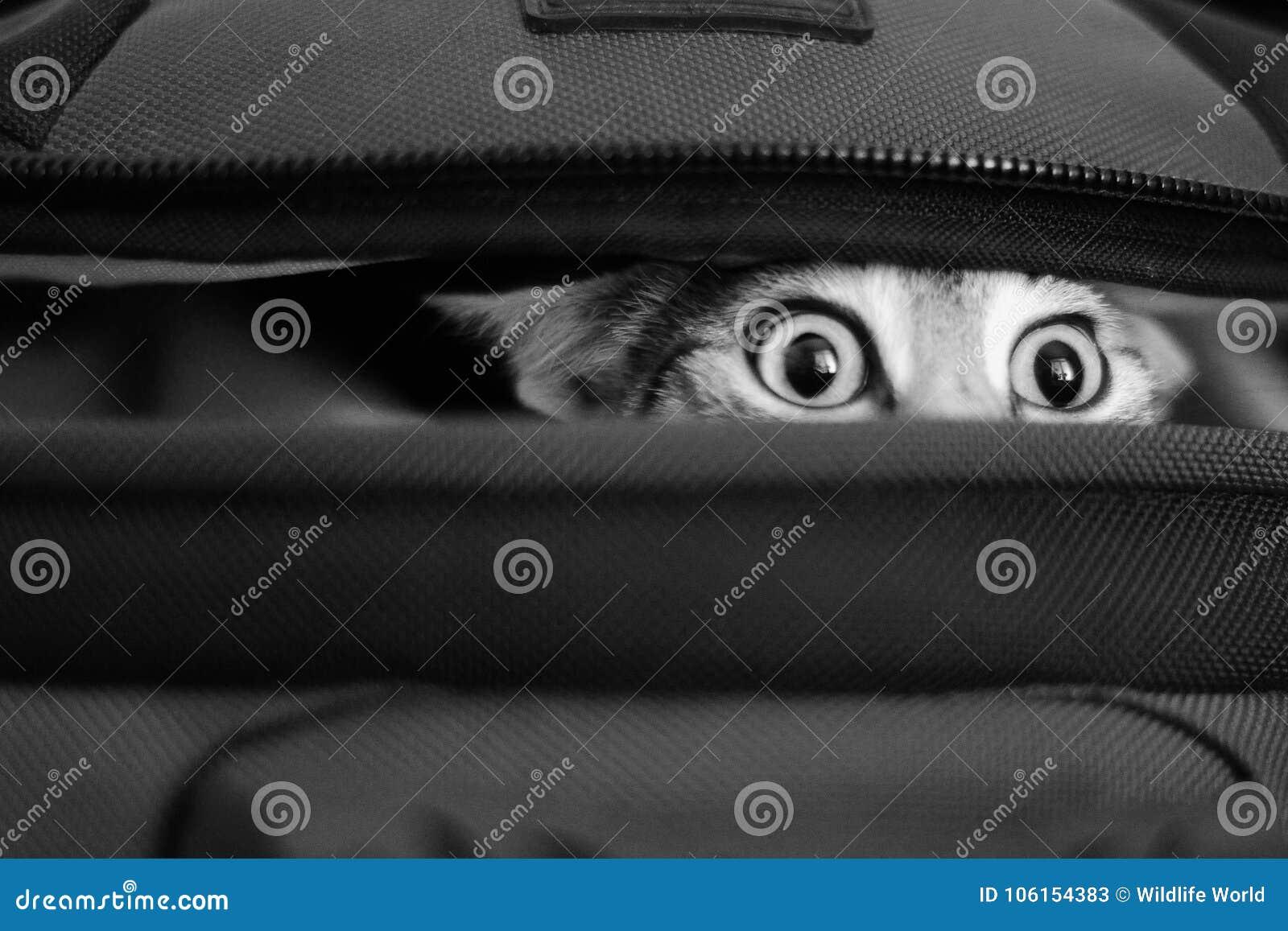 Förtjusande katt som kikar ut ur påse bw