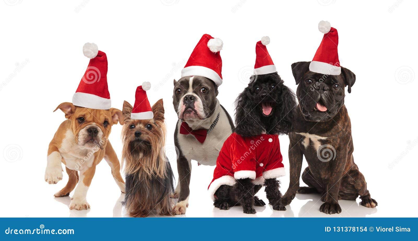 Fünf reizende Hunde der unterschiedlichen Zucht, die Sankt-Kostüme wering ist