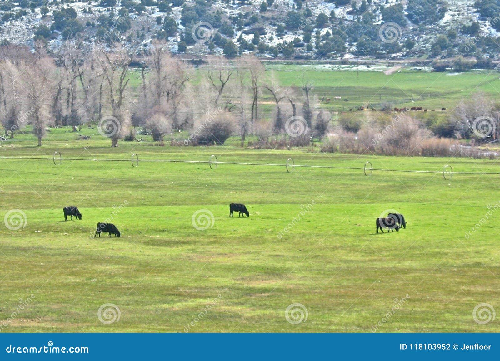 Fünf Vieh in Ring Graze auf dem Grün