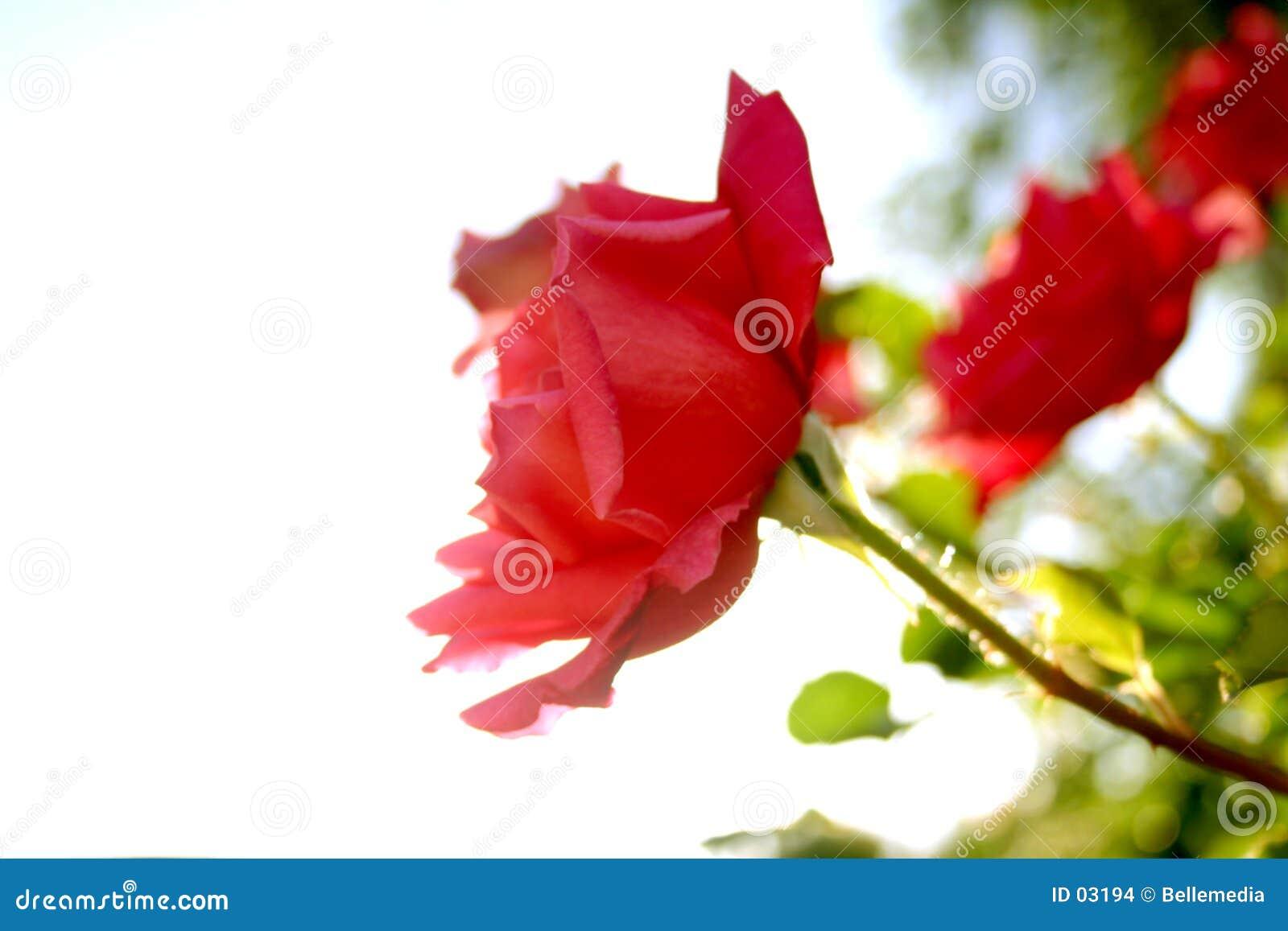 Für immer Rose