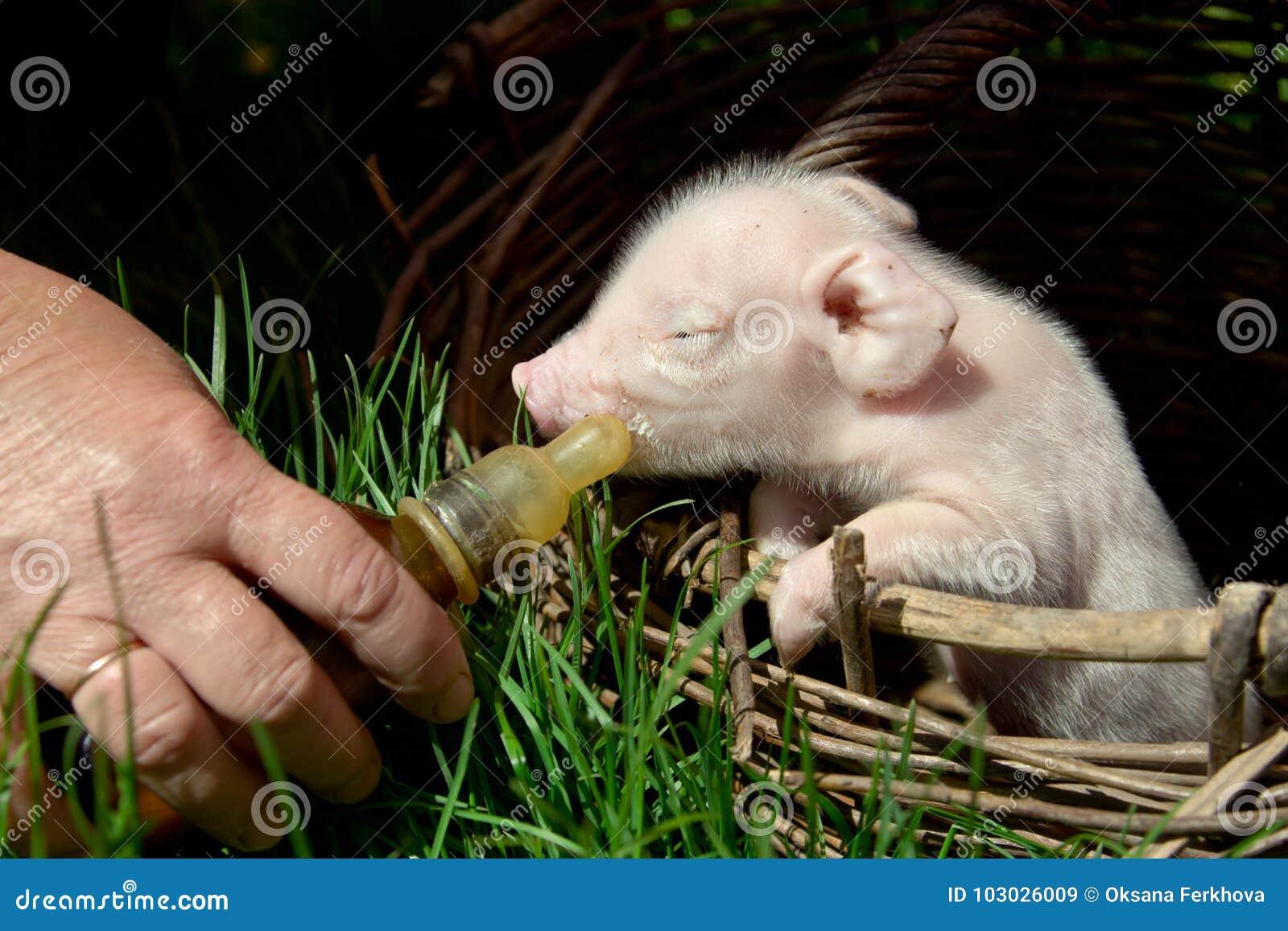 Fütterung eines neugeborenen Ferkels in einem Korb von einer Flasche mit einem pacifi