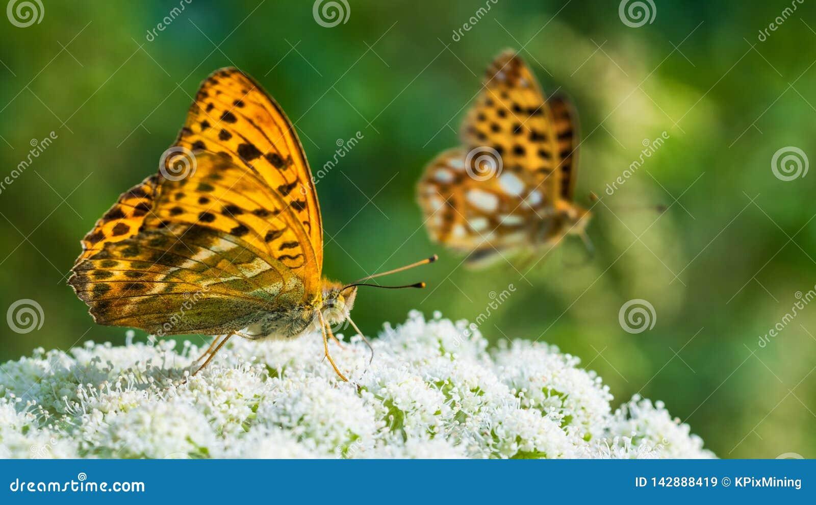 Fütterungsdetail des Schmetterlinges Flügelunterseite Silber-gewaschener Fritillary Argynnis paphia