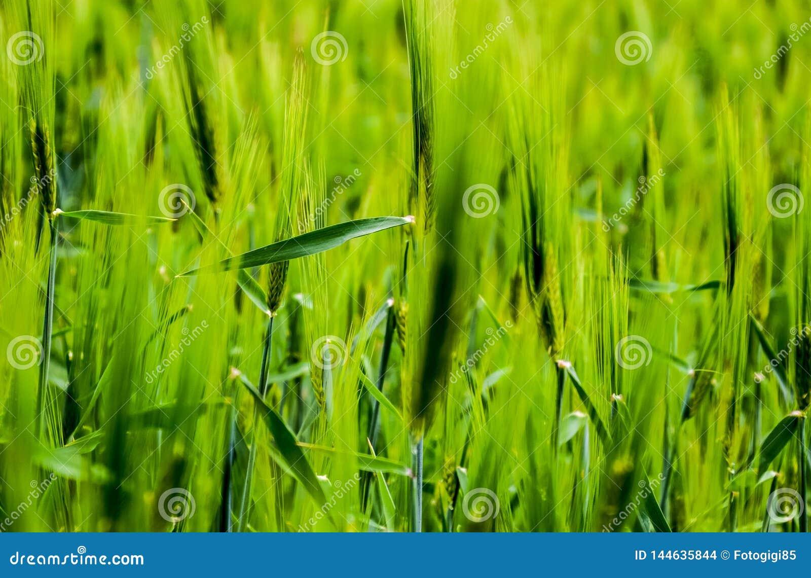 F?lt av gr?nt omoget korn Spikelets av korn Fältet är korn som är lantligt