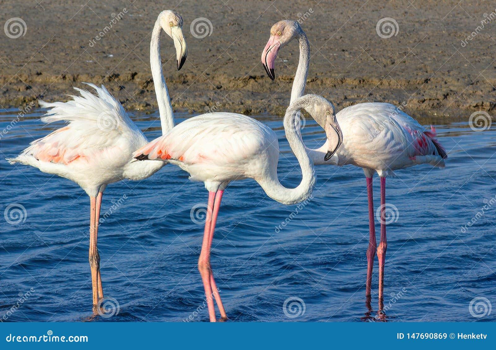 F?r?lskelsetriangel av rosa flamingo i havslagun