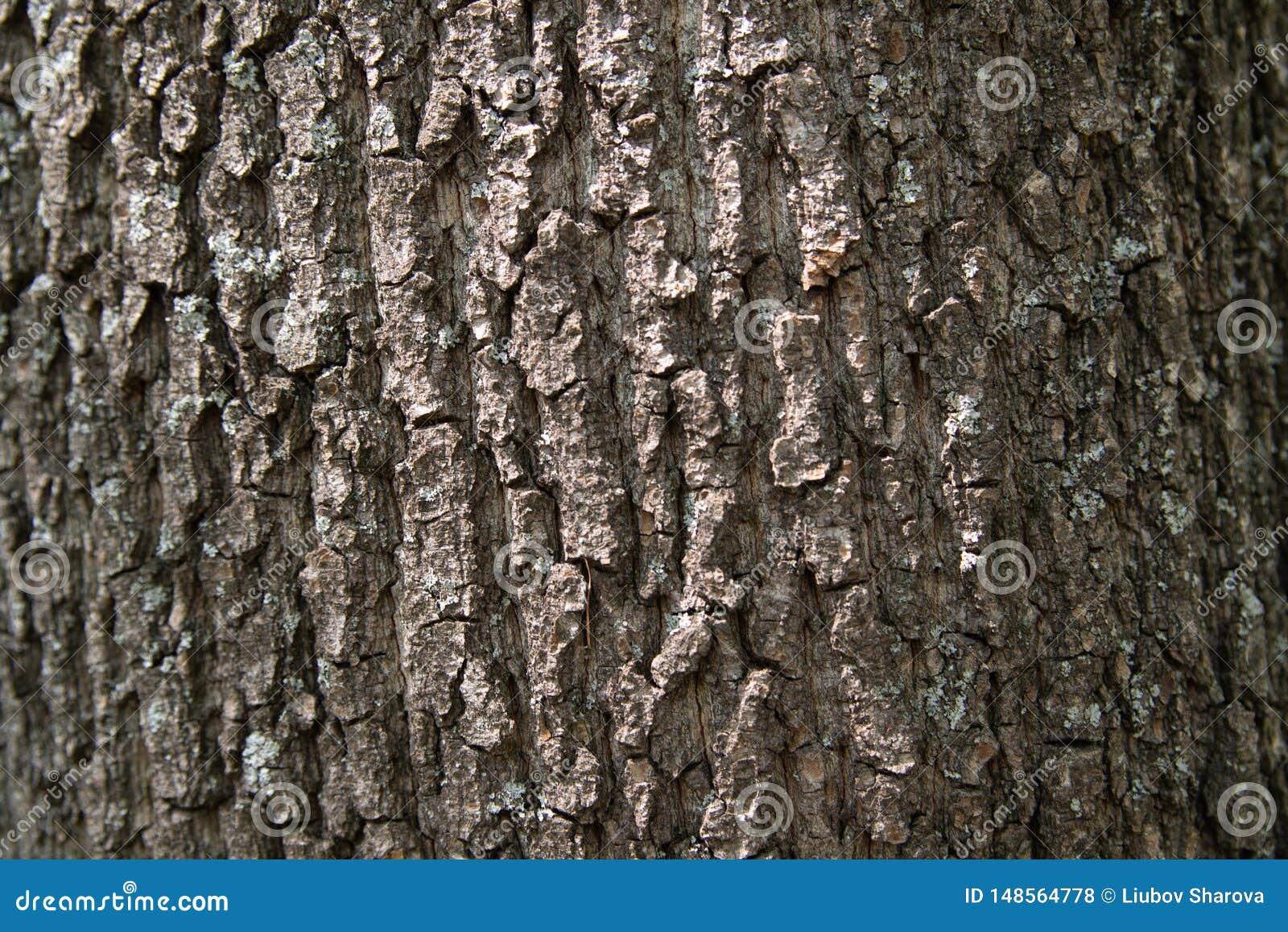 F?r poplartextur f?r sk?ll gammal tree