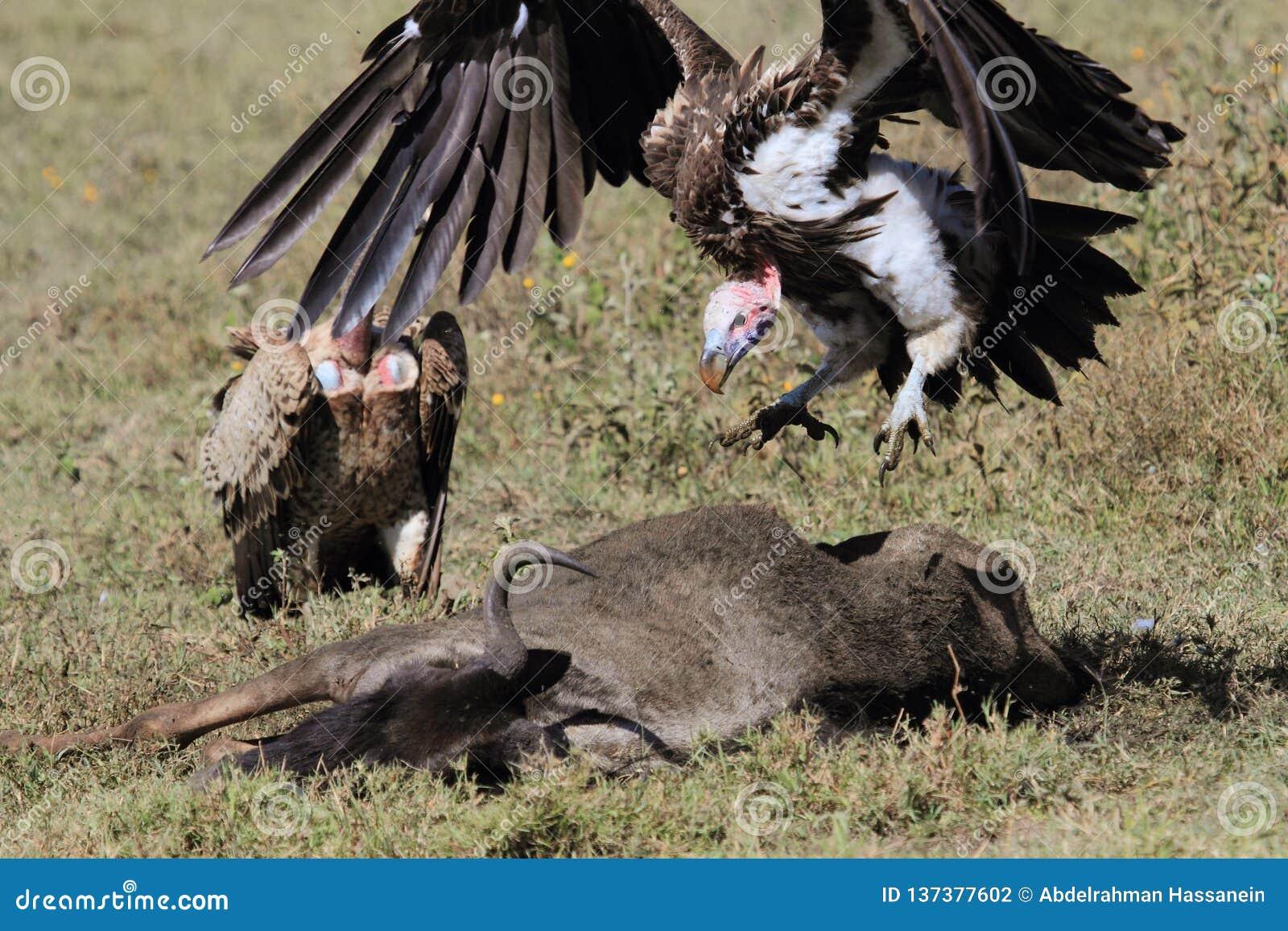 Fałda stawiający czoło sęp skacze na wildebeest ścierwie