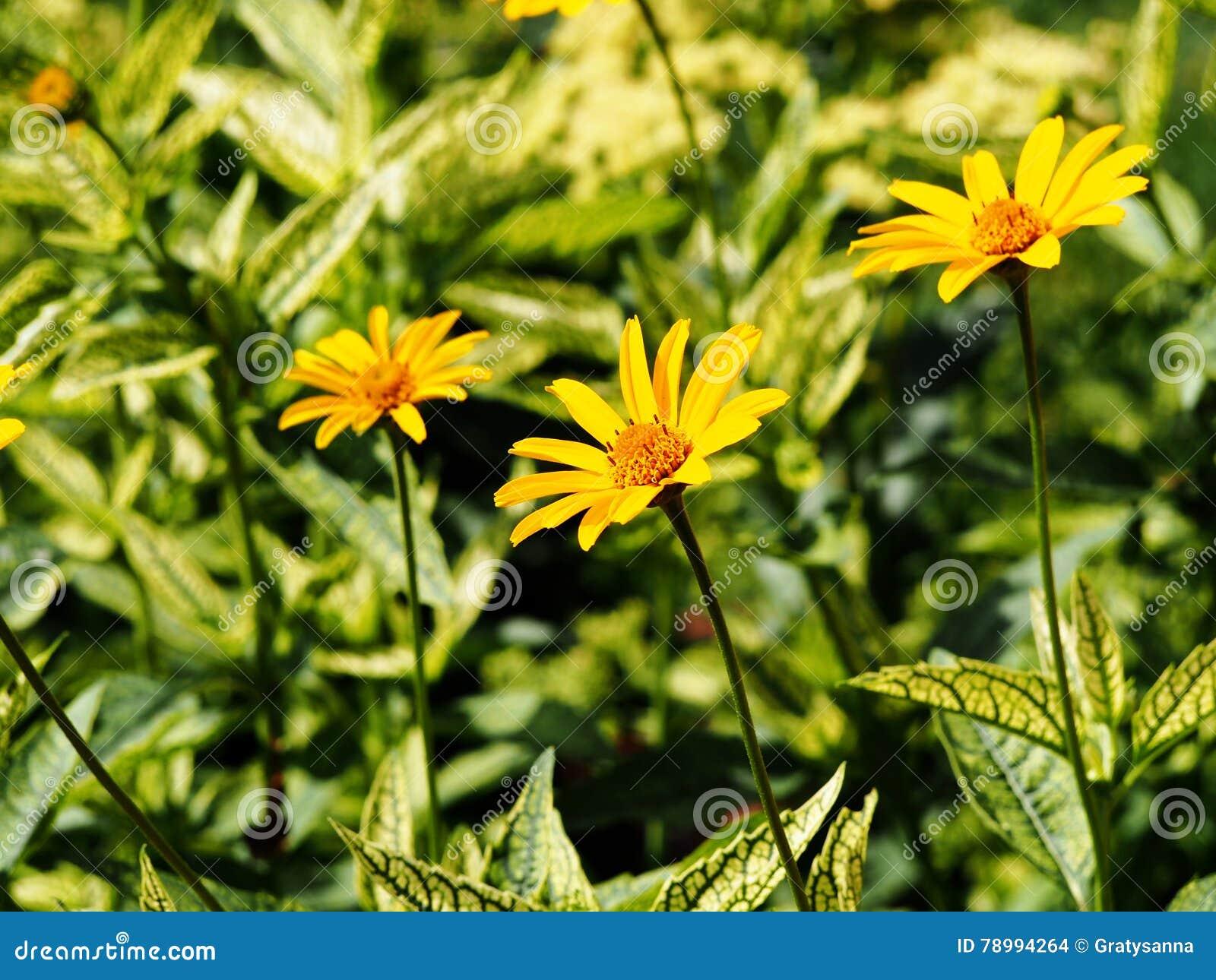 Fałszywy słonecznik, szorstki oxeye & x27, - Heliopsis helianthoides; Loraine Sunshine& x27;