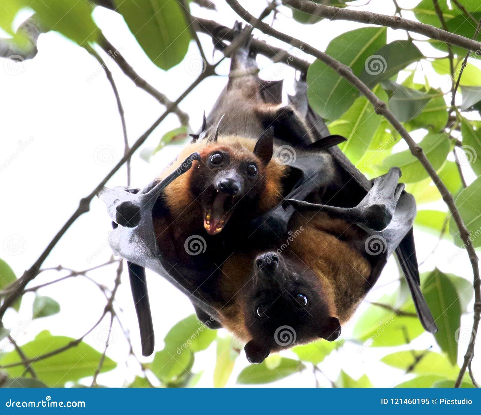 Fabbricazione di amore del pipistrello della frutta