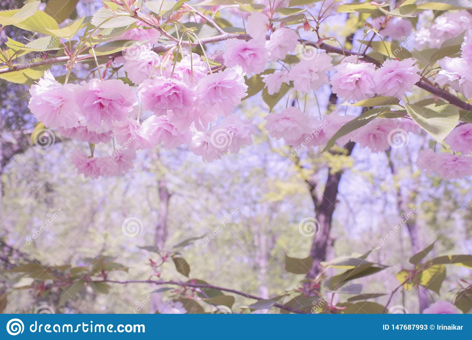 Fabulous beautiful landscape. Soft pink flowers of Japanese sakura and branches with leaves.