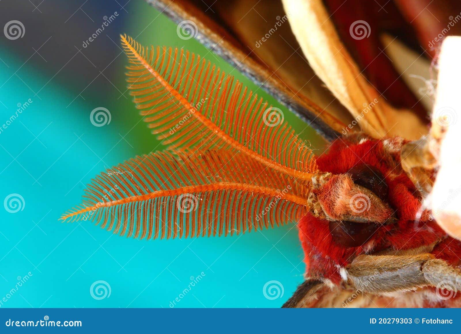 Face of Atlas Moth (Attacus atlas)