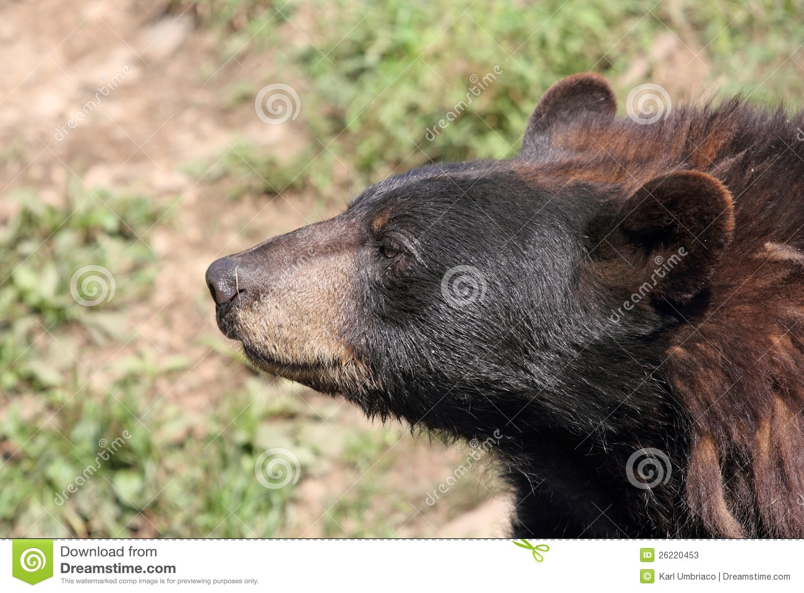 Black bear head profile - photo#18