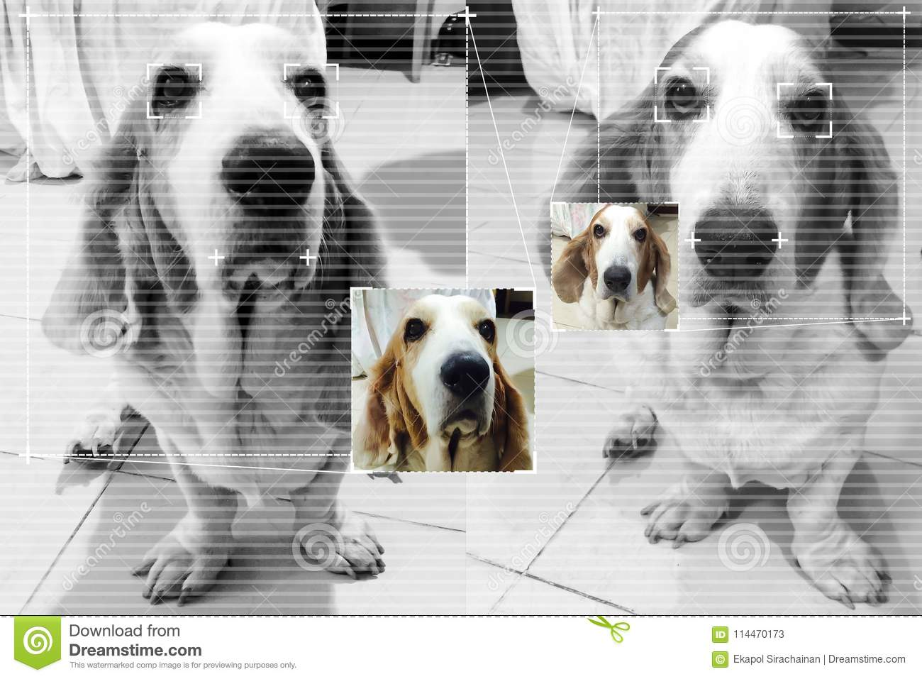 Face detection technology for dog basset hound with screen detection line and cute color image background.
