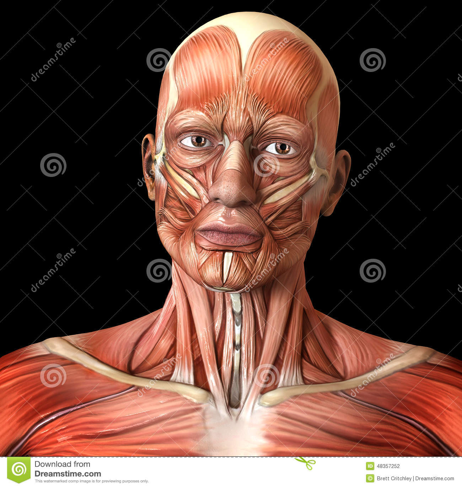 Human Muscle Anatomy Face
