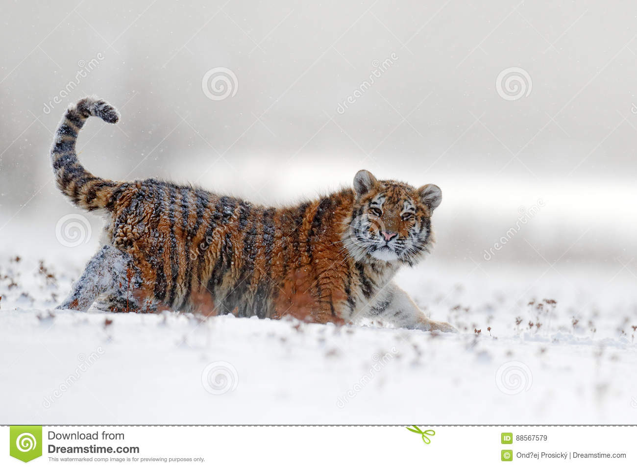 Face fixed tiger look. Siberian tiger in snow fall. Amur tiger running in the snow. Action wildlife winter scene with danger anima