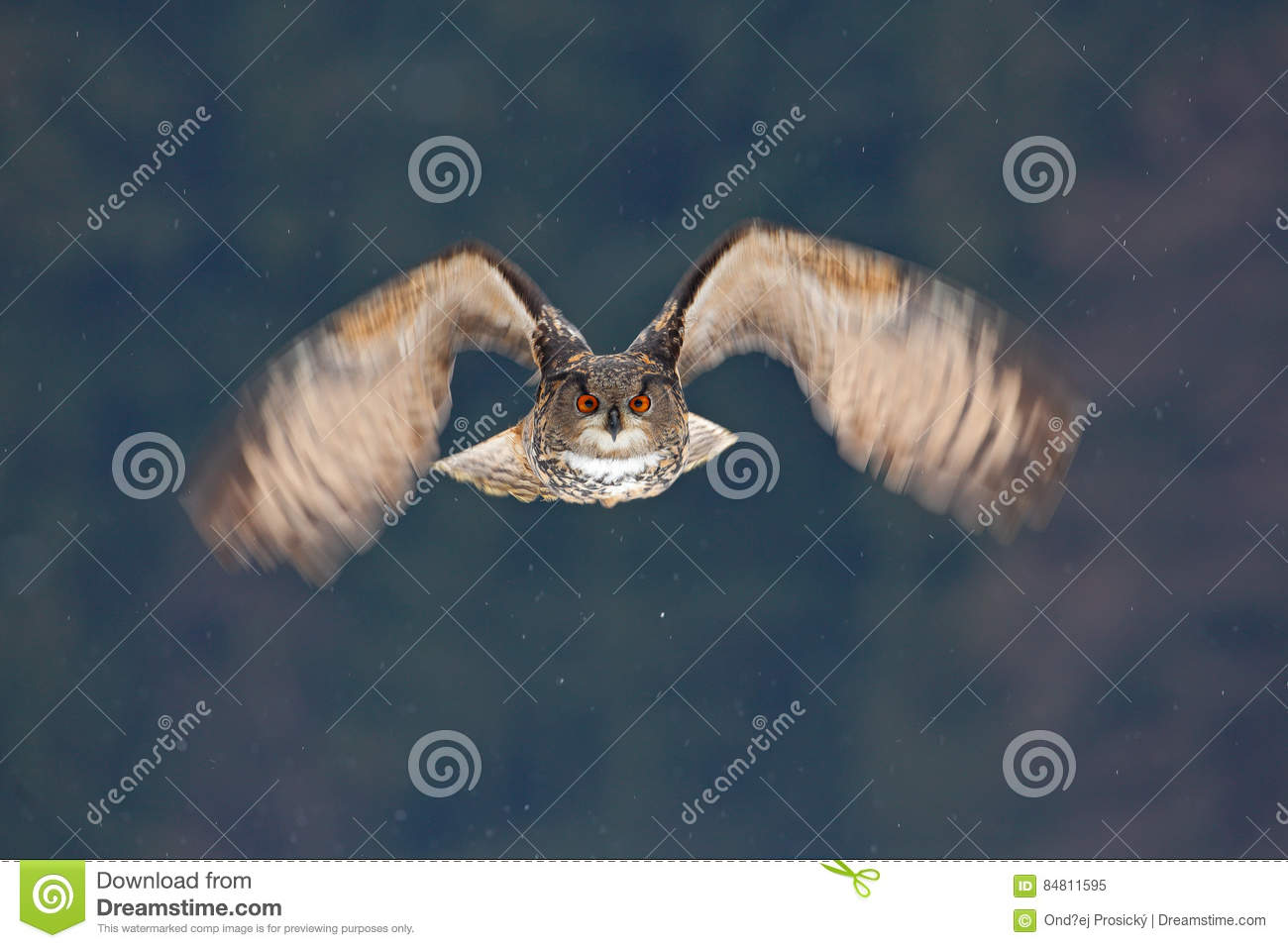 Face fly of owl. Flying Eurasian Eagle owl with open wings with snow flake in snowy forest during cold winter. Action wildlife sce