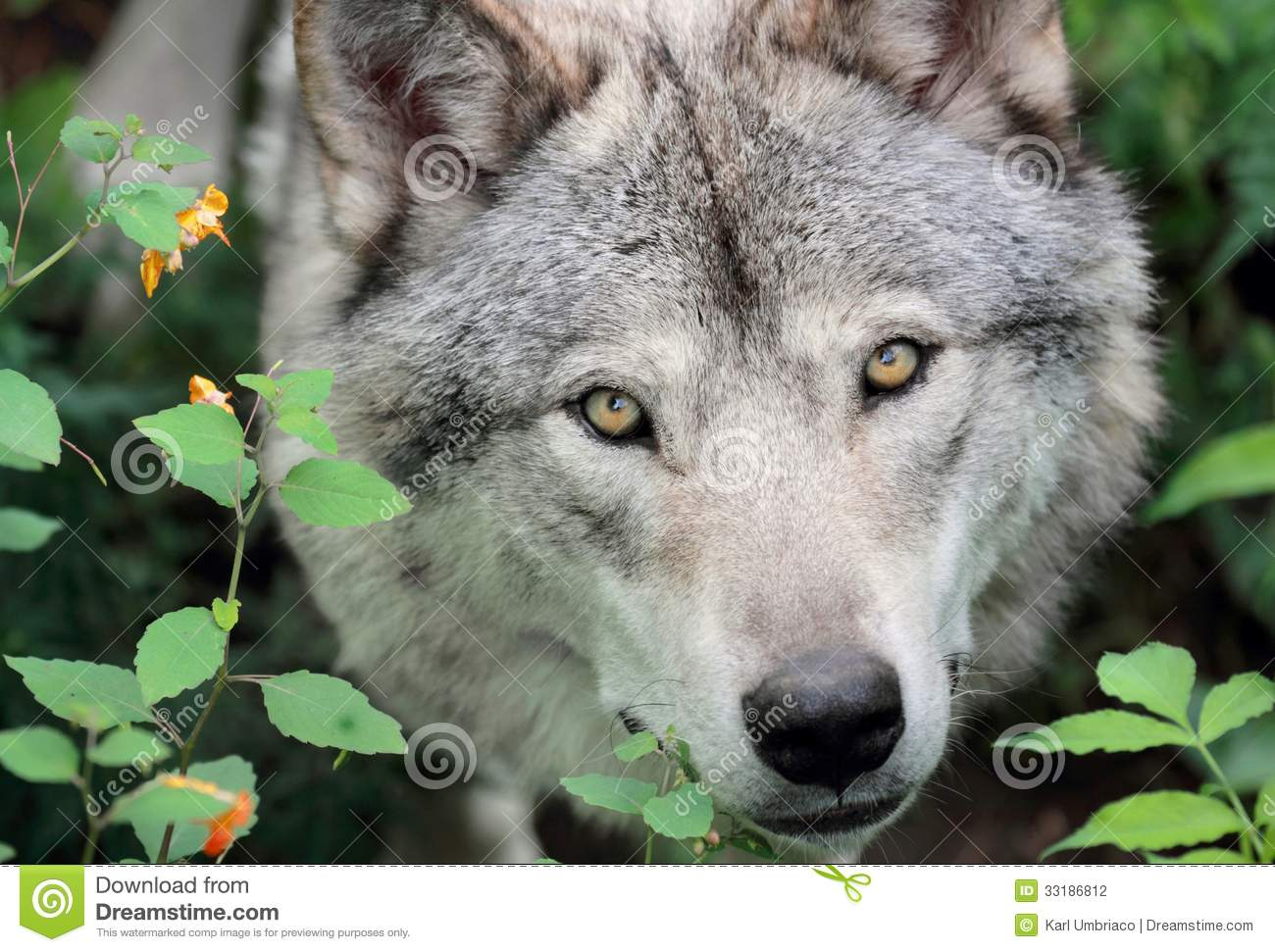 face of gray wolf stock photography image 33186812 clipart wolf head profile clipart wolf pigs and the mud