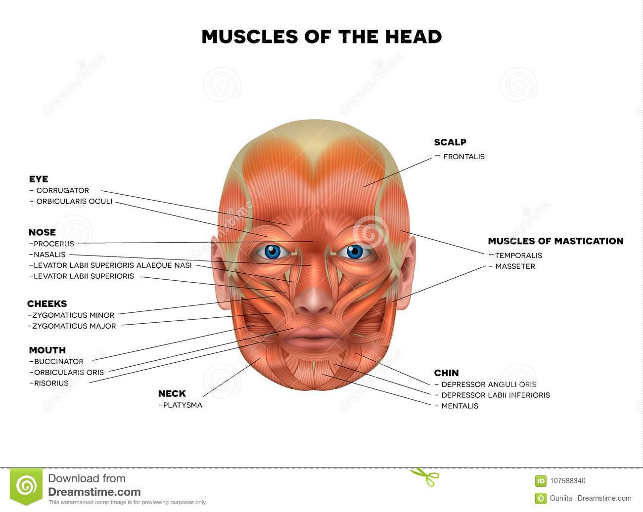 Face And Head Muscles Stock Vector Illustration Of Healthy 107588340