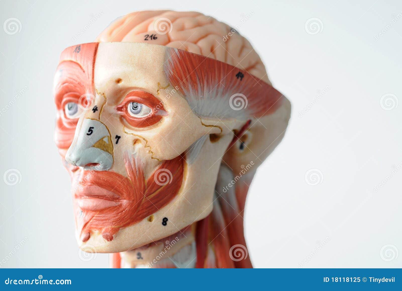 Human Side Face Anatomy Face Human Anatomy Roy...