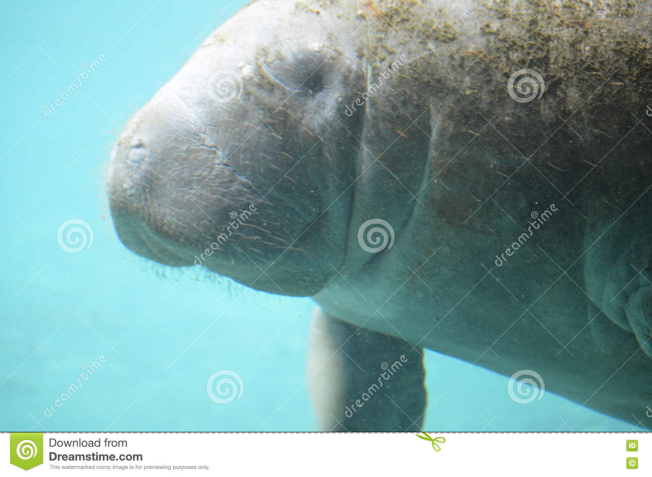 face to face with manatees face to face with animals