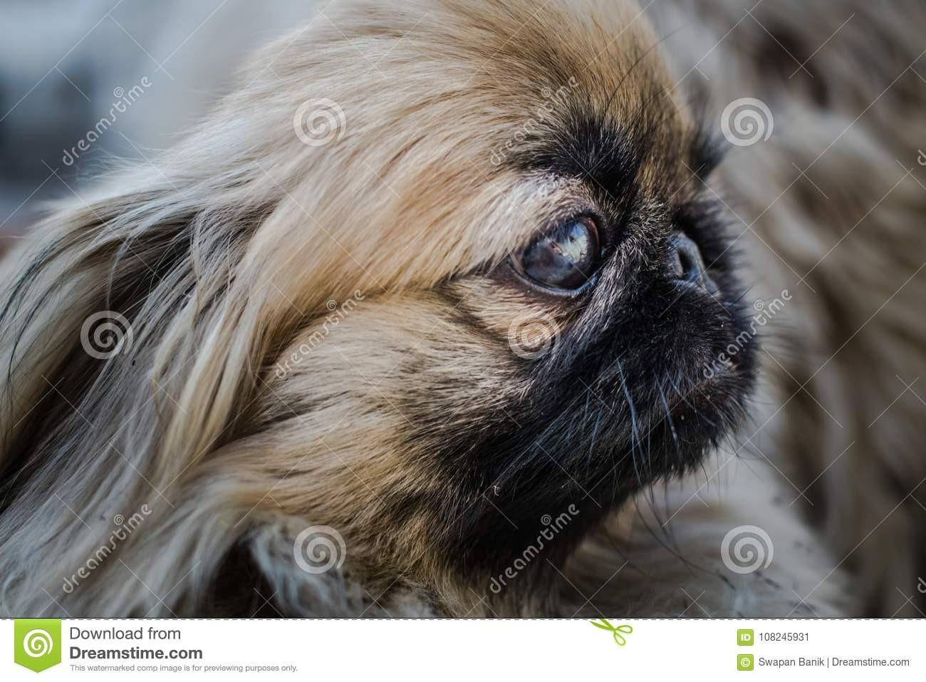 Face Of Pekingese Or Lion Dog Stock Image - Image of indoor, cute