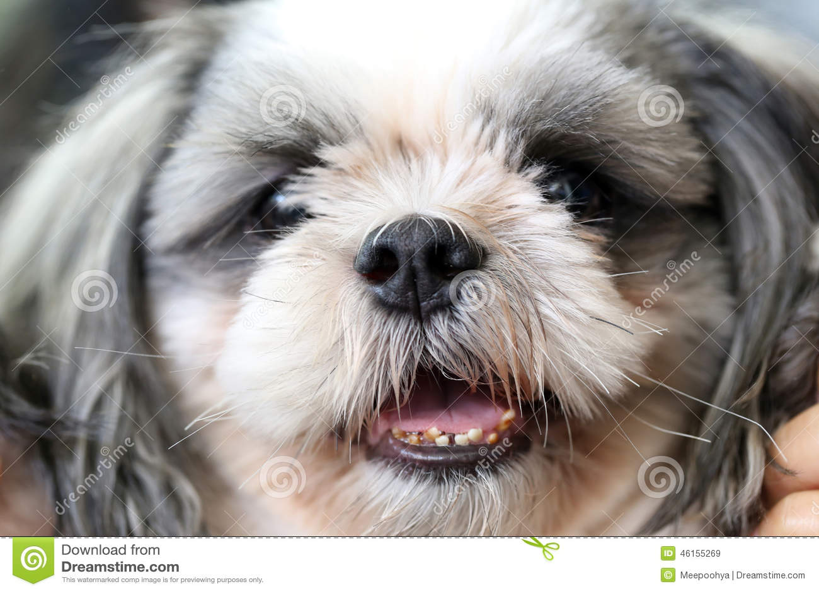 Face of the Shih Tzu dog.