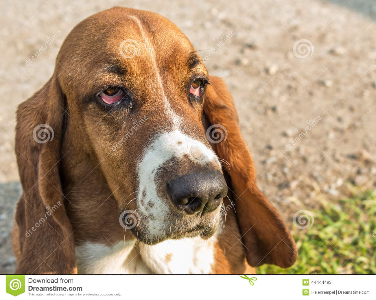 Face Shot Of A Basset Hound Stock Photo - Image: 44444493