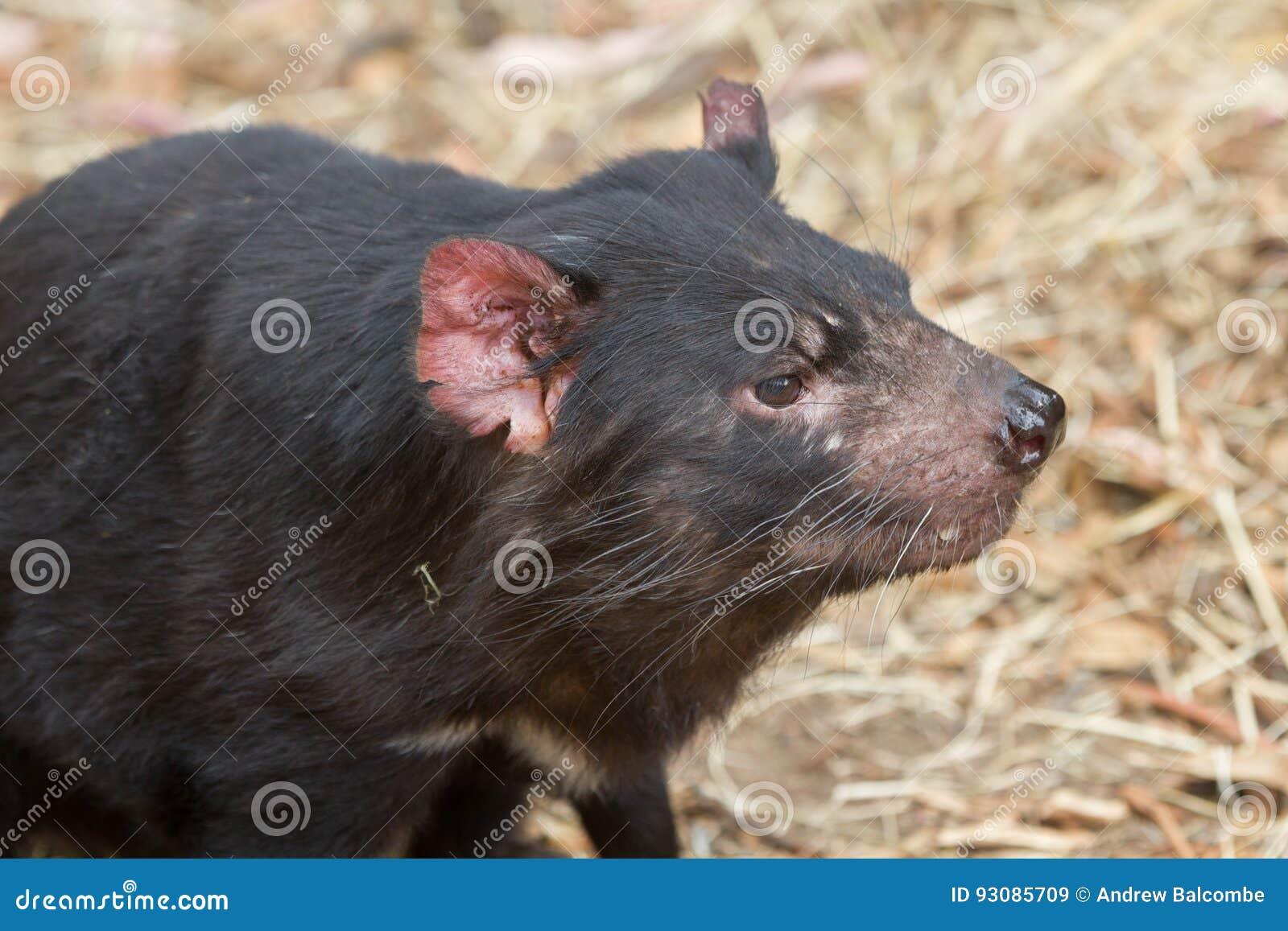 Face of Tasmanian devil