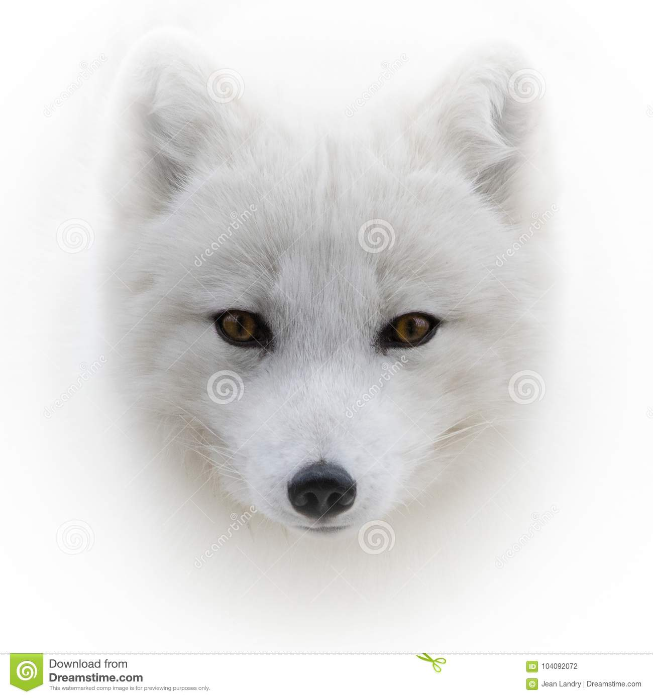 Face To Face With Arctic Fox Stock Photo Image Of Snow