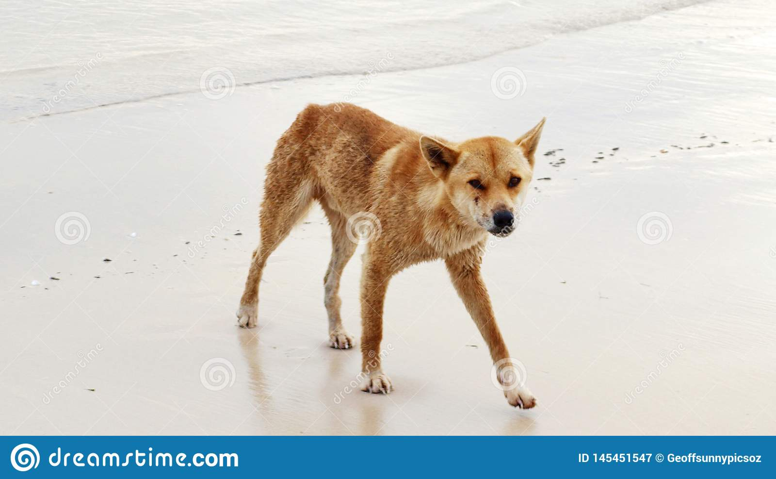 Face to Face with wild Dingo