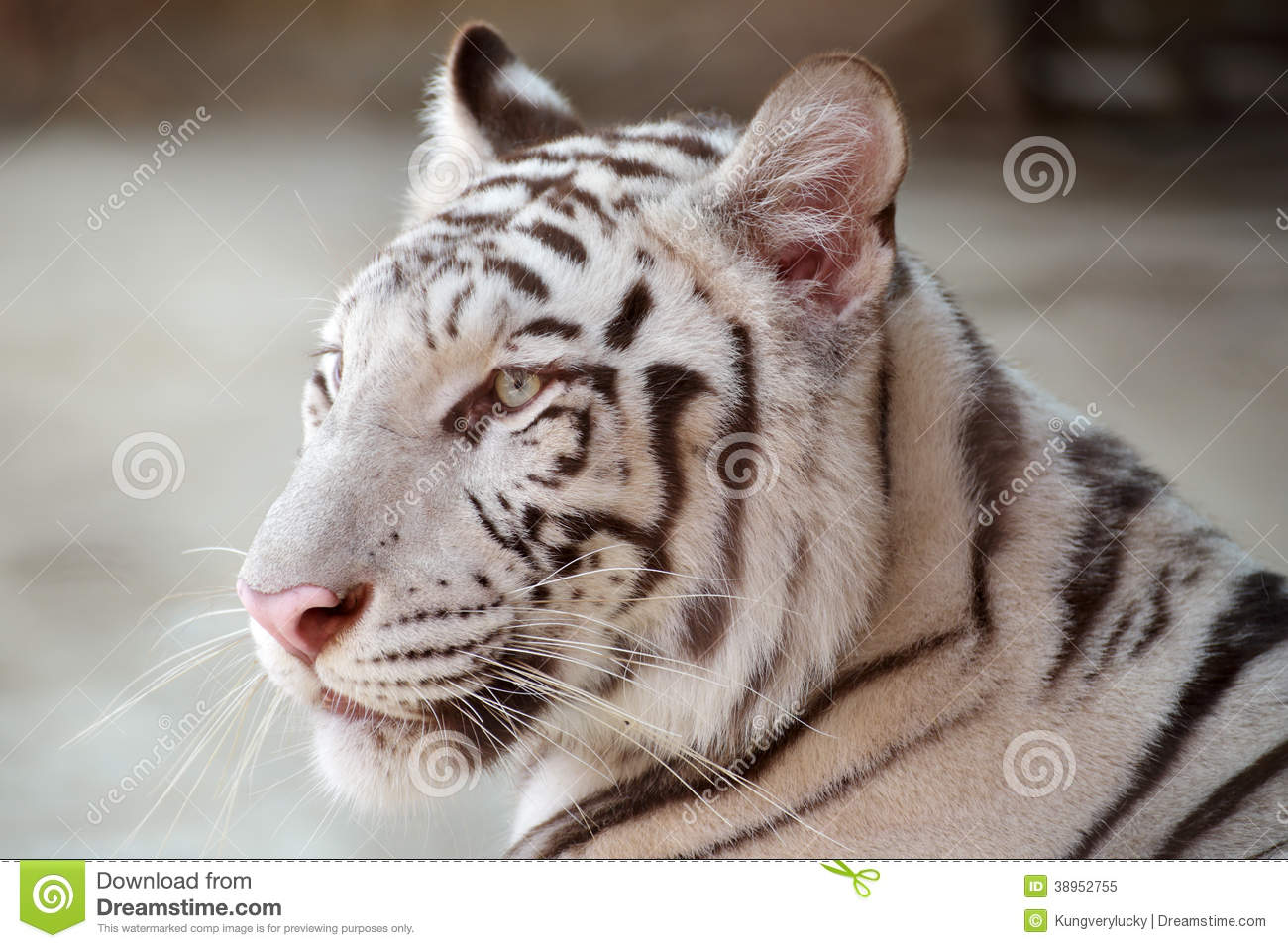 White tiger close up face - photo#23